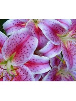F6.1 Pink Bouquet of Lilies