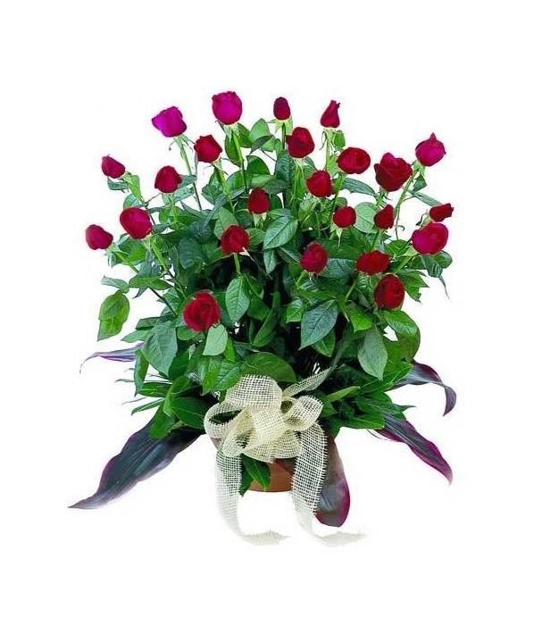 C13.2 Pot Rose Arrangement