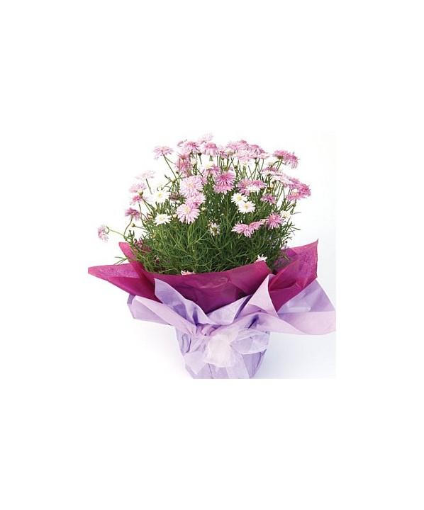 D51.0 Flowering Plant