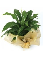 D48.0 Foliage Plant