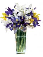A2.1 Iris Cheer